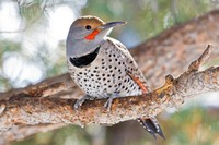Red-shafted Flicker, Big Bear