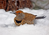 Red-Shafted Flicker in Snow, Big Bear