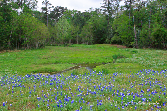 Bluebonnets - Texas