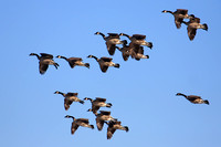 Canada Geese Arriving